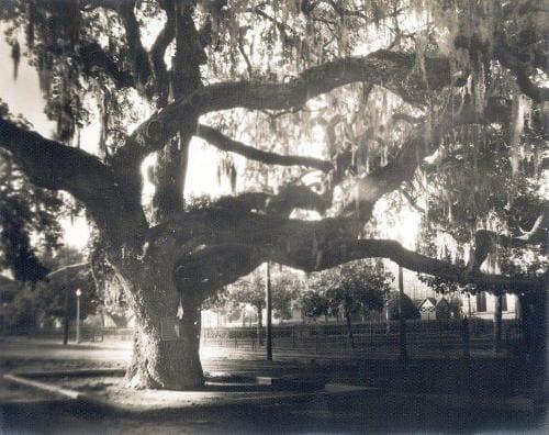 live oak tree columbus